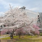 Chery blossoms and Annex Hall