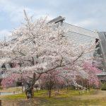 桜とアネックスホール