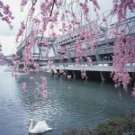Swan and cherry blossoms